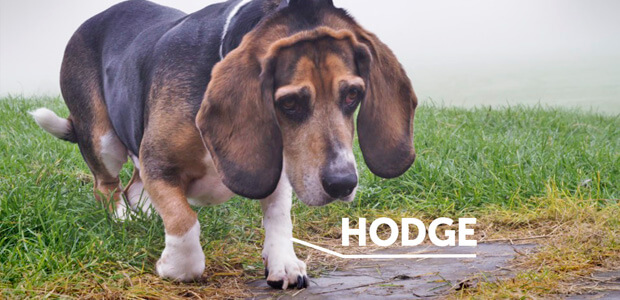 Photo of Hodge the beagle looking a little sad