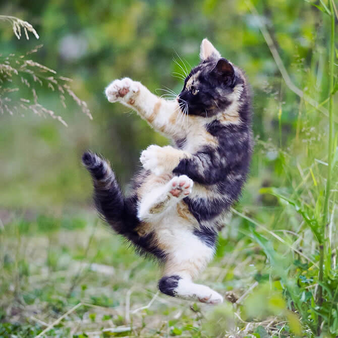 Kitten outdoors in the grass, jumping playfully