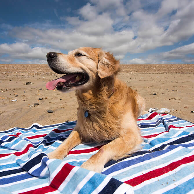 Fit Fred - a Golden Retriever - on the beach