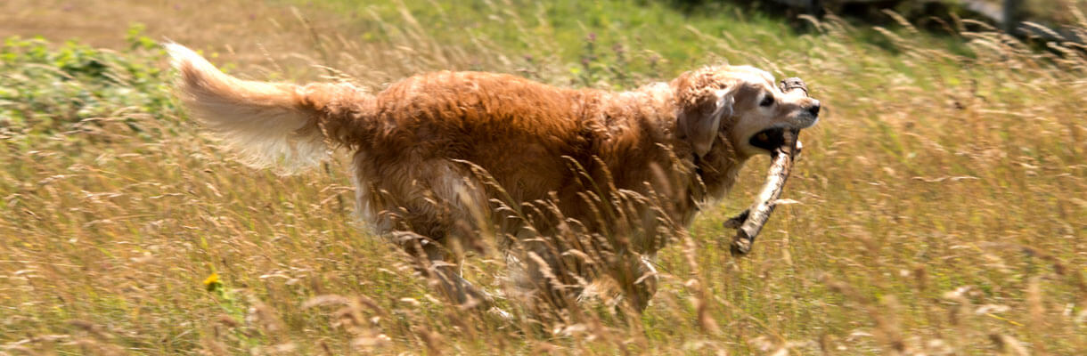 Golden Retriever running through the grass with a giant stick