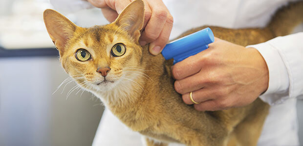 Ginger cat being microchipped at the vet