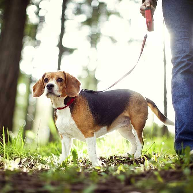 Beagle being taken for a walk in the woods
