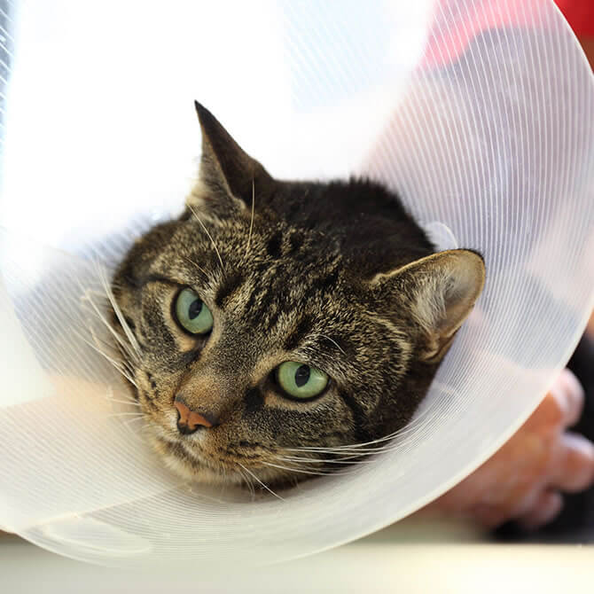 Tabby cat at the vets with a white cone around its neck