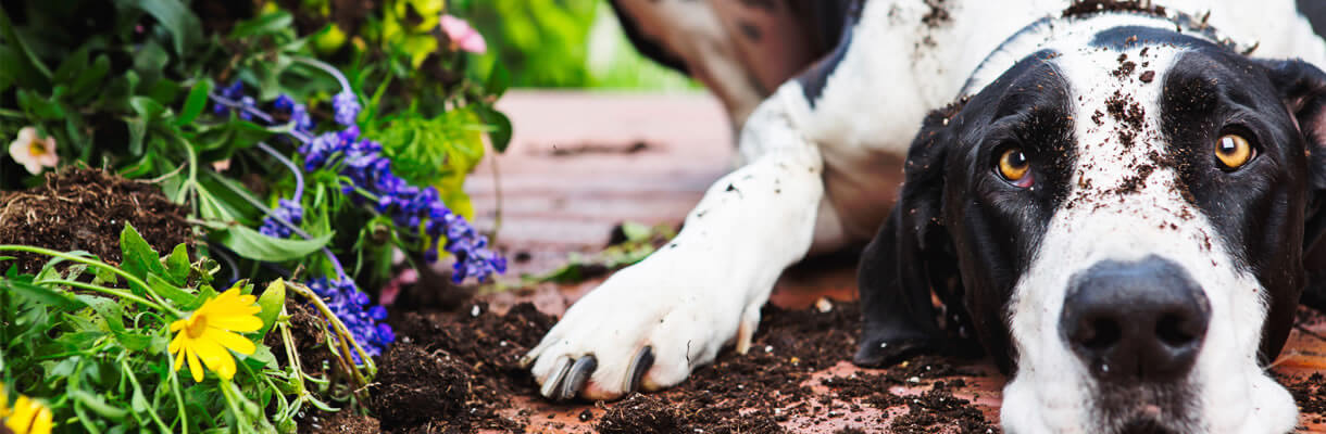 Black and white dog covered in dirt lying next to some purple flowers in a garden