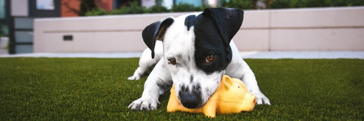 Dog playing outside with toy